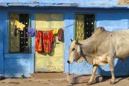 Cow in Jodhpur street