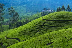 Hatton tea plantations, Sri Lanka