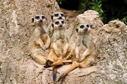 Meerkats, Kalahari