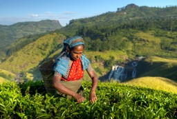 Local woman picking tea in Ella