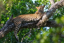 Leopard relaxing in Yala, Sri Lanka