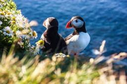 Two puffins surrounded by flowers on the cliffs of Iceland
