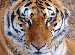Tiger, china