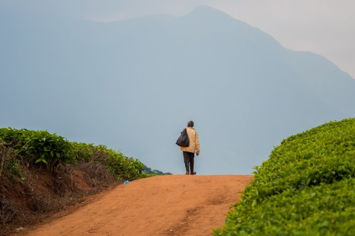 Person walking in tea planations in the Satemwa Estate