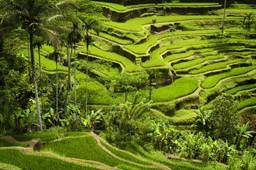 Rice paddies of Ubud, Bali, Indonesia