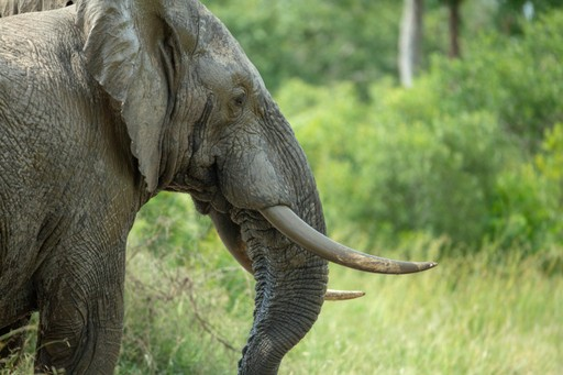 Bull elephant in musth, South Africa