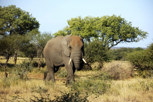 An elephant in the Niassa Game Reserve, Mozambique