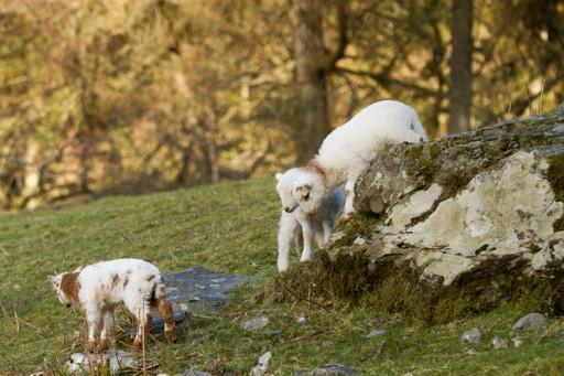 Wales holidays: Lambs playing