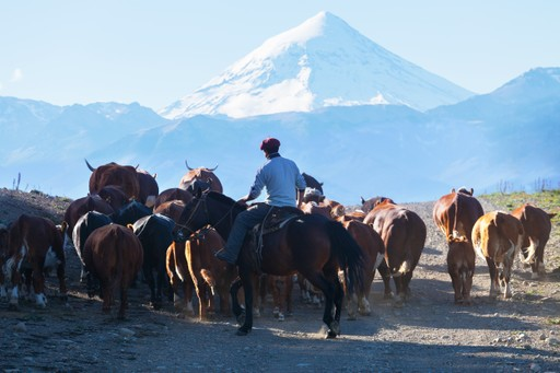 Gaucho herding cattle in Argentina