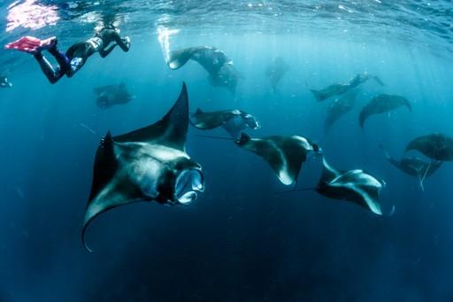 Manta Rays in the Maldives