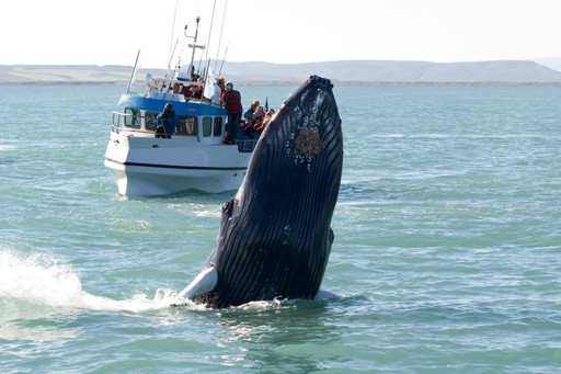 Humpback whale and whalewatching boat toar