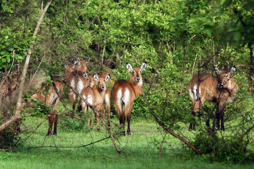 Mole National Park herd of Kob Antelopes