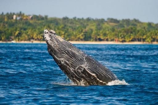 Humpback Whale Madagascar