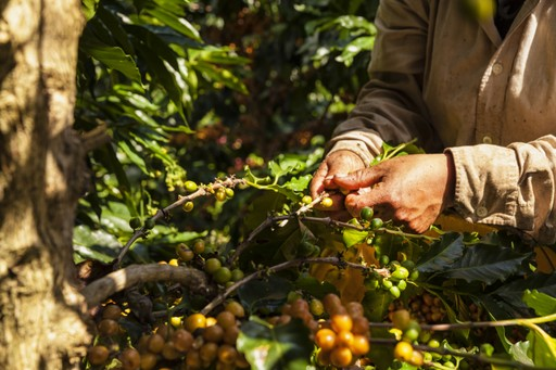 Coffee harvesting in Salento, Colombia