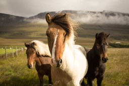 Two Icelandic ponies in a field