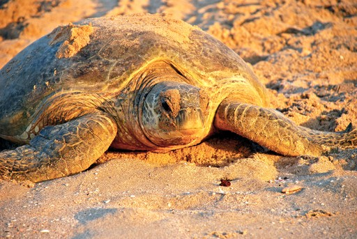 Turtle nesting in Oman