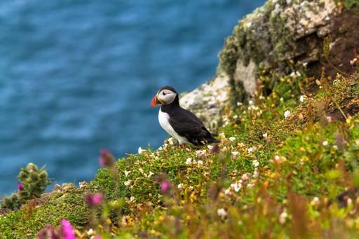 Wales holidays: Skomer Island puffin