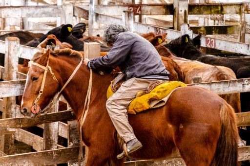 Gaucho penning cattle in Argentina