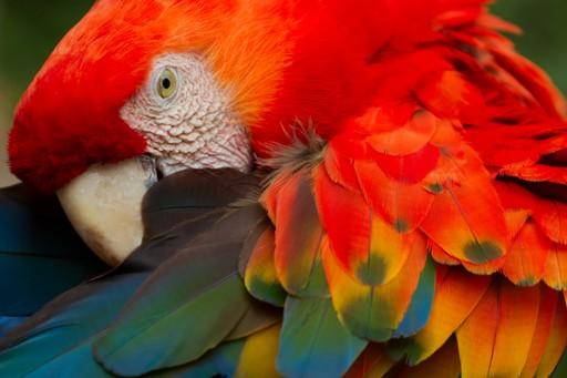 Scarlet macaw Peru