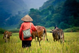 Farmer herding cows in Vietnam