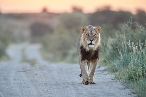 Black Maned Lion Kalahari