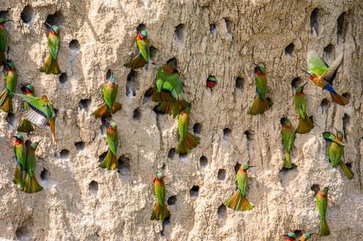 Colony of Bee Eaters in their Burrow in Uganda