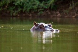 Hippo submerged in Senegal