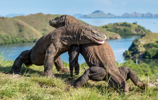 Komodo Dragons in Indonesia