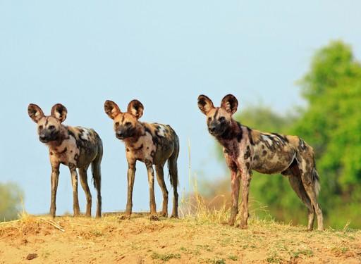 Kafue National Park wild dog
