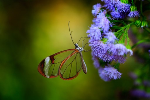 Newo Glasswing butterfly in Costa Rica