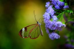 Nero Glasswing Butterfly