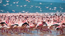 Flamingo in Kenya