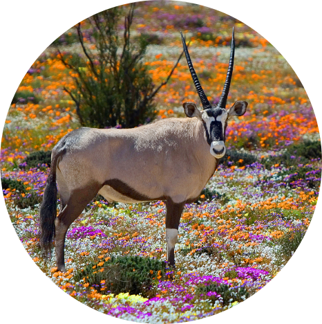Gemsbok in Western Cape, South Africa