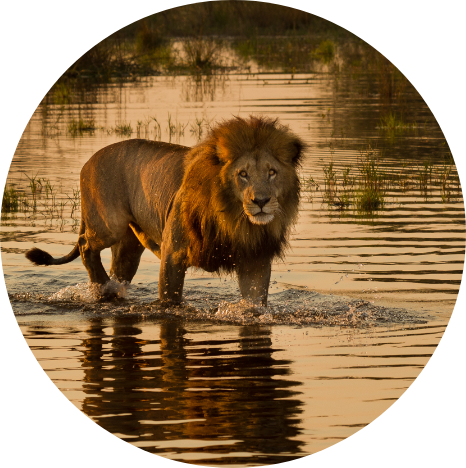 Lion in the Okavango Botswana