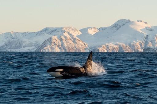 orca in norway