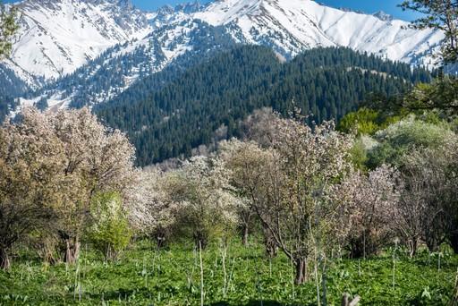 Apple orchard in Almaty Kazakhstan