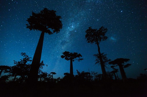 Baobab Trees Madagascar