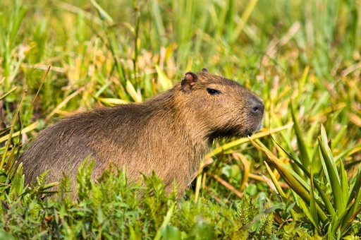 Capybara in the Ibera Wetlands, Argentina