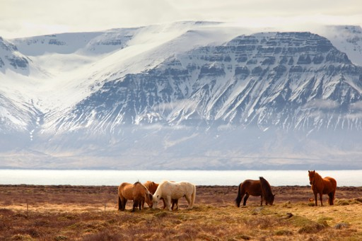 Icelandic ponies in front of a lake and mountain