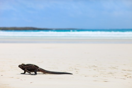 Iguana on the beach in Tortuga Bay, Galapagos Islands