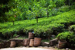 Baskets of tea leaves in Sri Lanka
