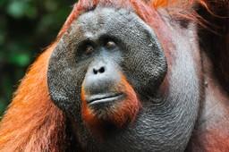 Falanged male Orangutan