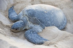 Turtle nesting in the Middle East