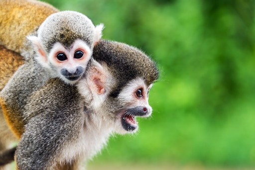 Two squirrel monkeys in the Colombian Amazon