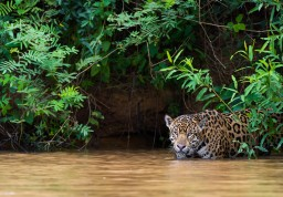 Jaguar in the river, Pantanal