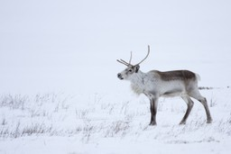 Reindeer in the snow in Iceland