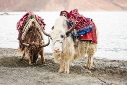 Yaks in Leh, India