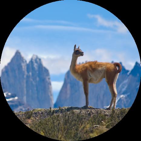 A guanaco in Chilean Patagonia