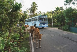 Typical traffic at Midigama beach