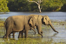 Elephants in the water in Sri Lanka